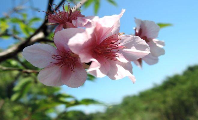 10月に開花した大島桜