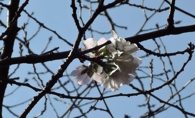 10月なのに桜が咲いた。