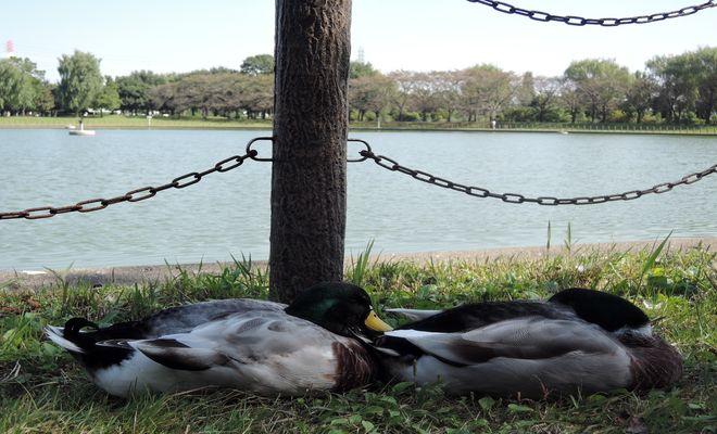 県民健康福祉村の鴨