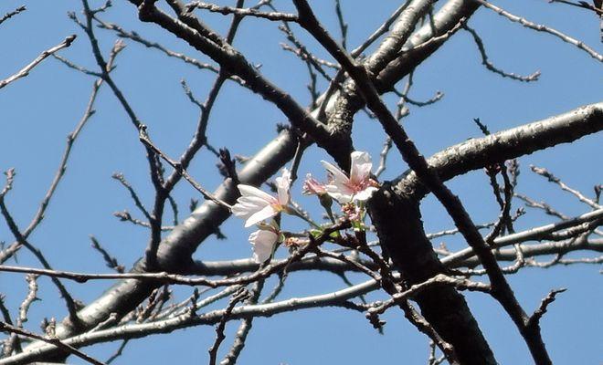 10月に咲いた桜(ソメイヨシノ)