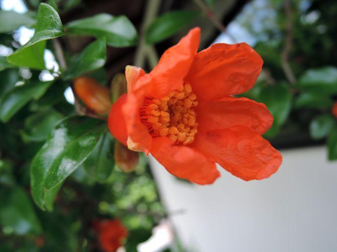 ザクロの花