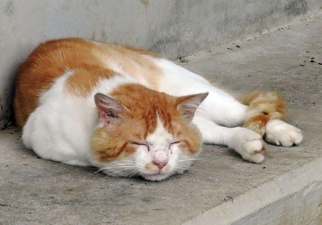昼寝している猫