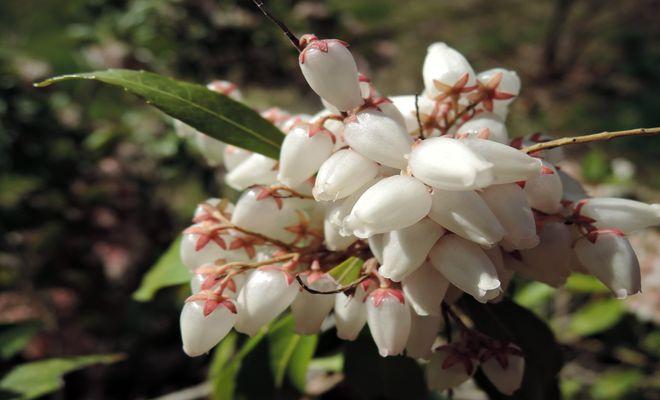 馬酔木の花-2
