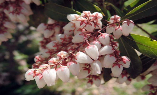 馬酔木の花-4