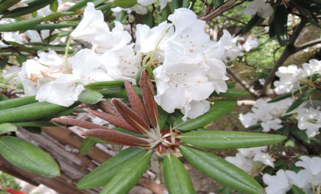 石楠花(白)