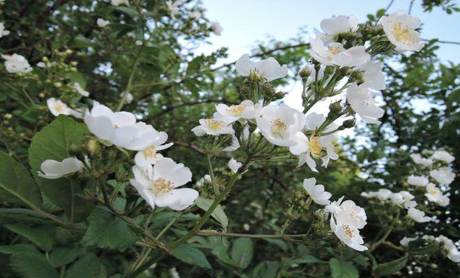 野茨の花-1