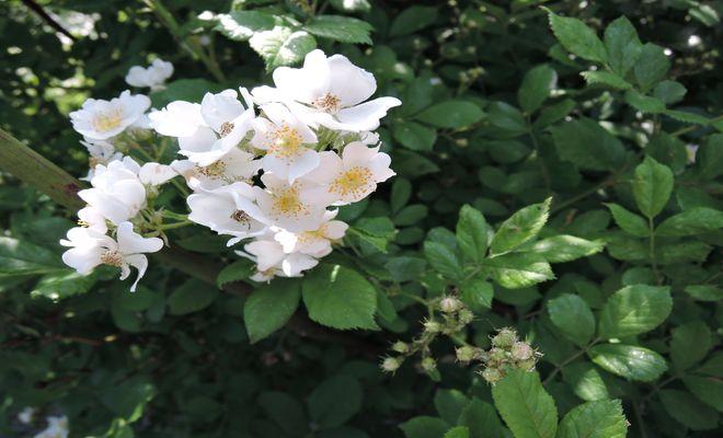 野茨の花-3