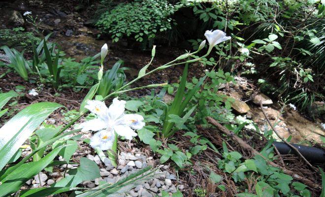 シャガの花-3