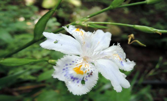 シャガの花-4