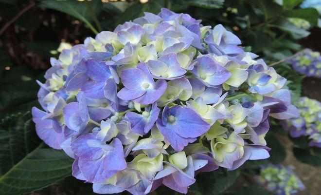 紫陽花(紺藍)