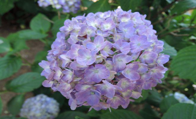 紫陽花(楝色)