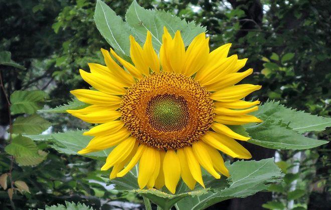 向日葵の花(1)