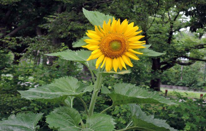 向日葵の花(2)