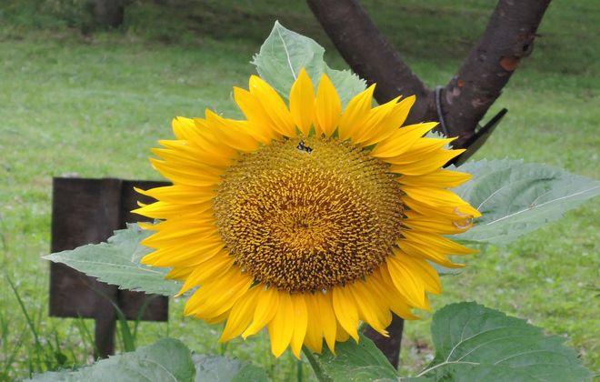 向日葵の花(3)