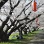 八分咲きの桜並木
